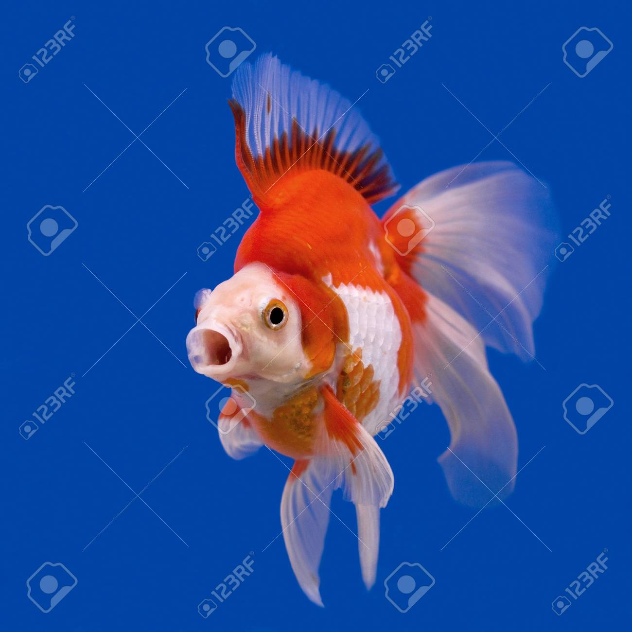 Beautiful Goldfish In The Aquarium Stock Photo Picture And Royalty Free Image Image 36960633