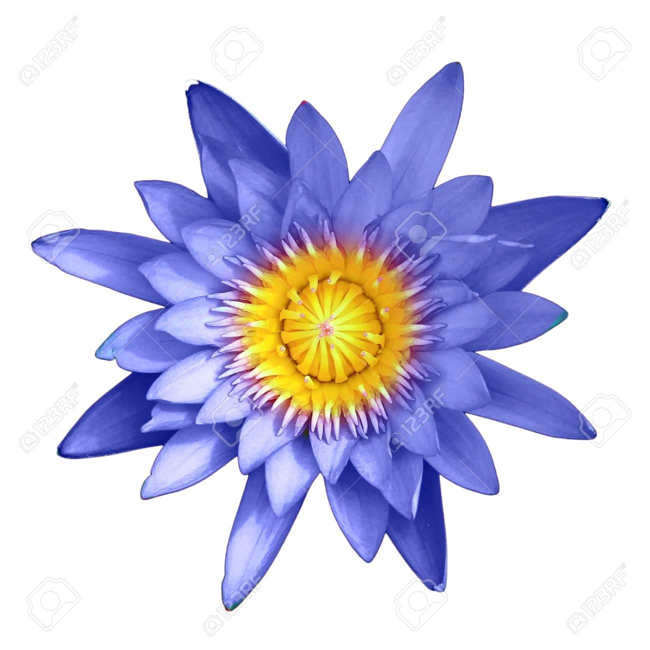 Fleur de lotus bleu isolé sur fond blanc
