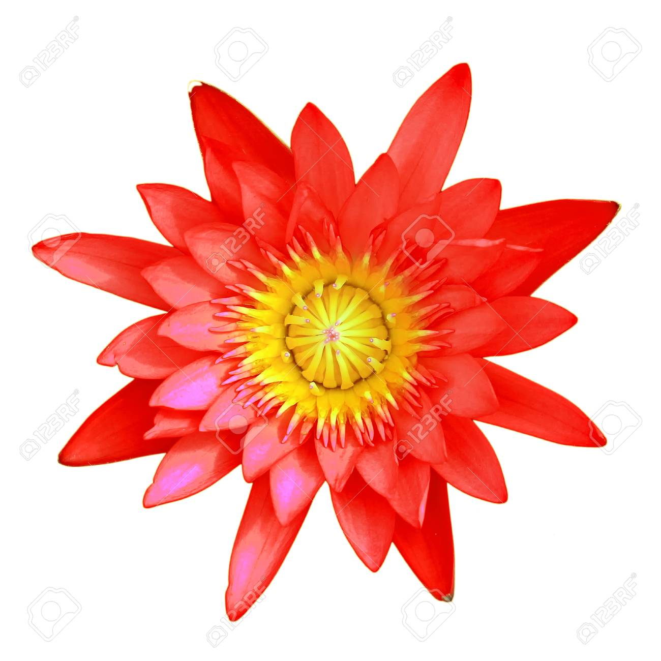 Red Lotus Flower Isolated On White Background Stock Photo Picture
