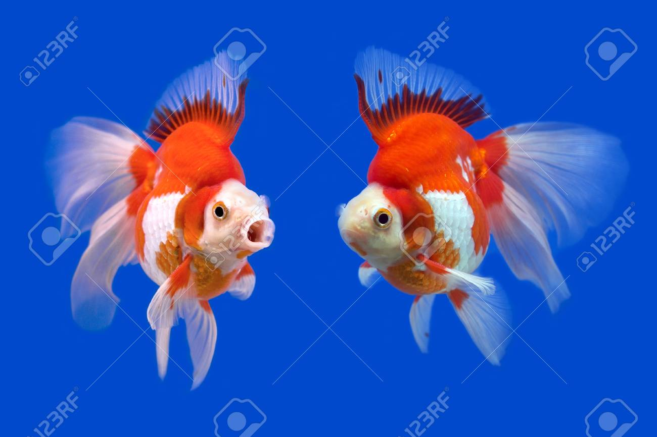 Beautiful Goldfish In The Aquarium Stock Photo Picture And Royalty Free Image Image 40264137