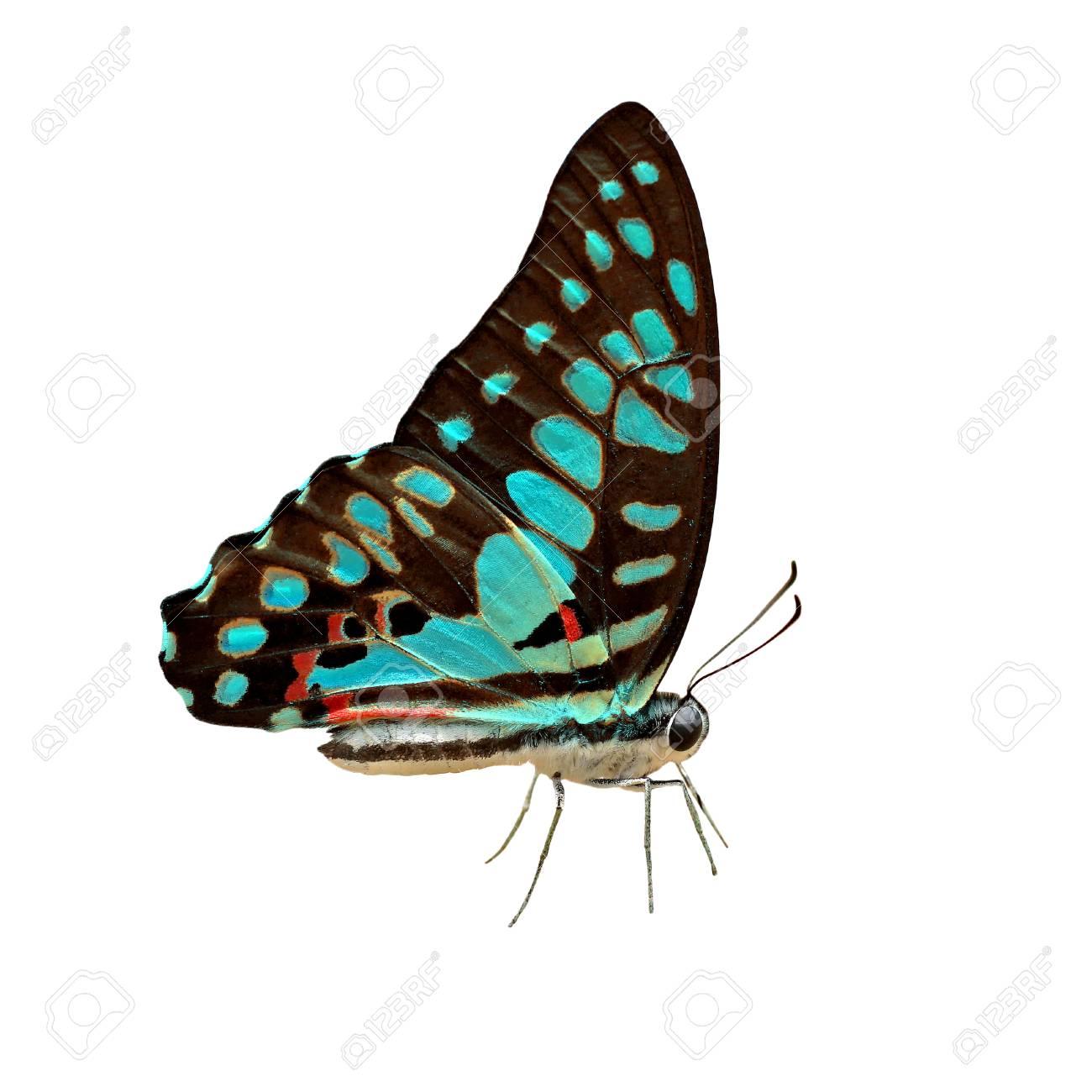 Immagini Stock Esotico Colore Farfalla Blu Isolato Su Sfondo