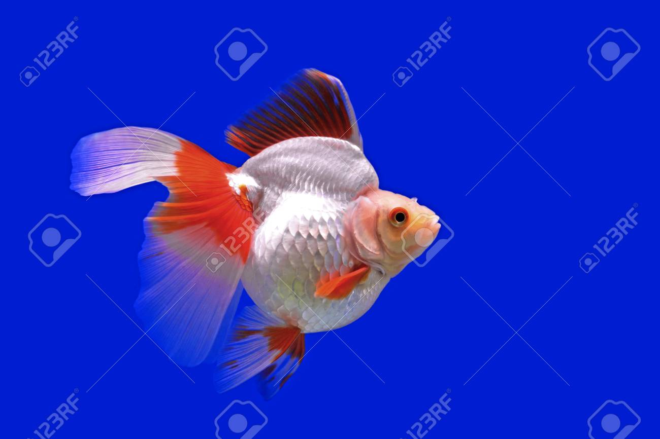Beautiful Goldfish In The Aquarium Stock Photo Picture And Royalty Free Image Image 51665962