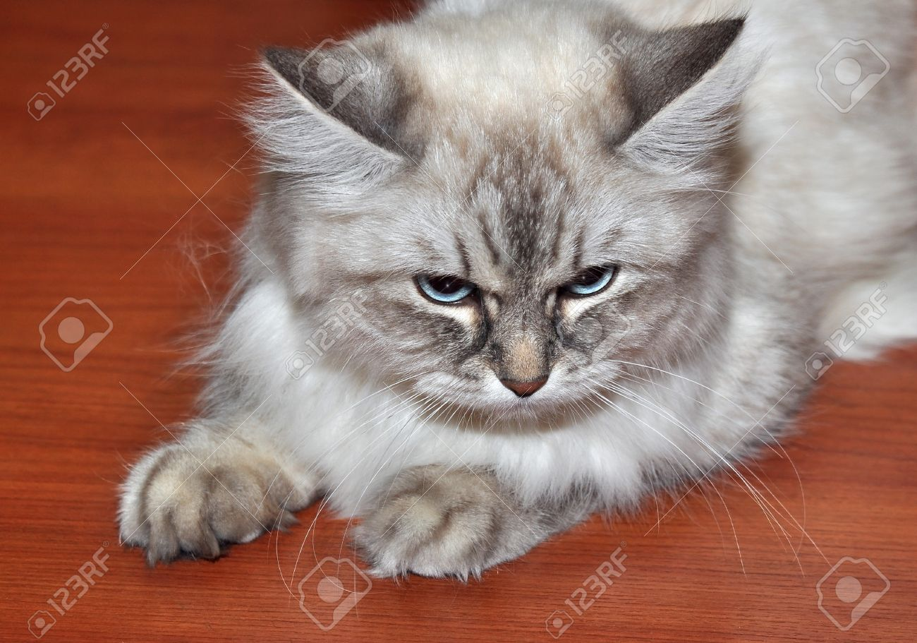 Persian Cat With Blue Eyes And A Light Wool Stock Picture