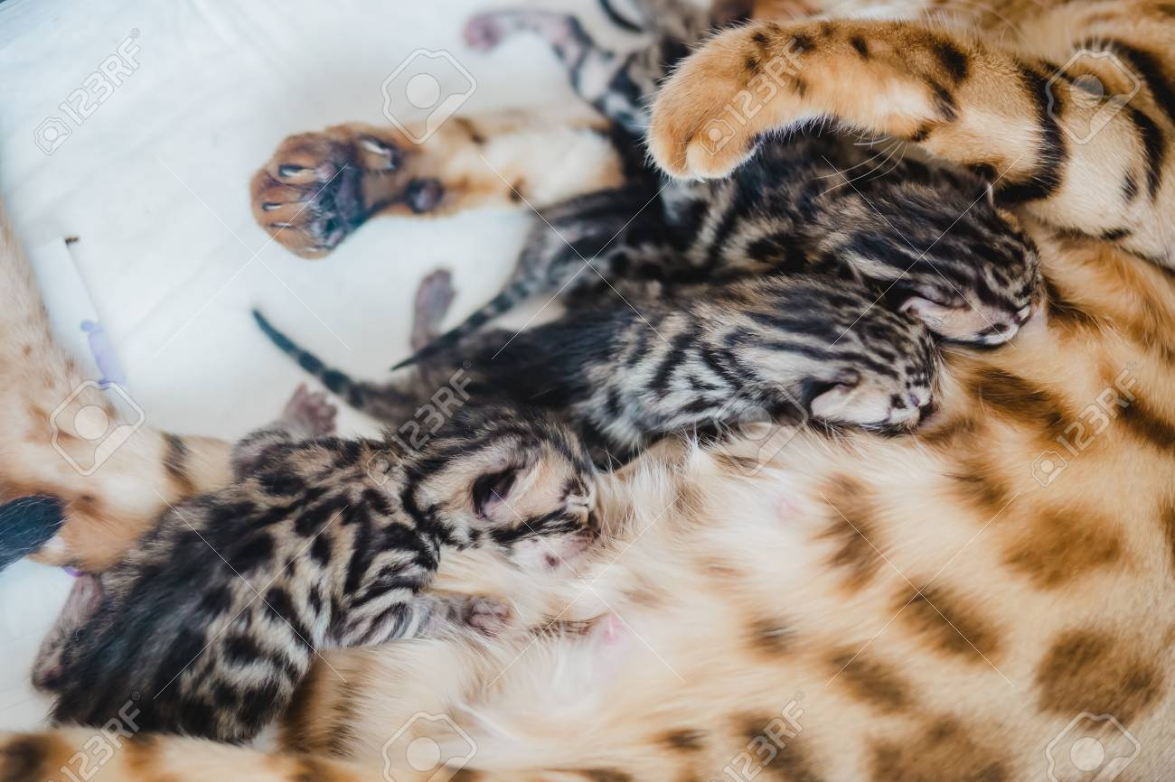 cattery of bengal cat this his kitten