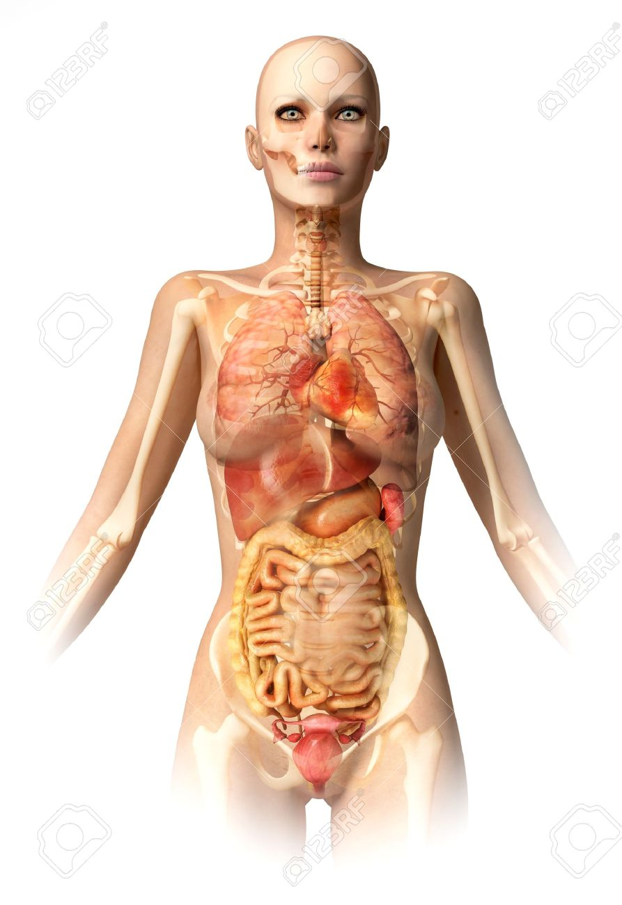Woman Body, With Bone Skeleton And All Interior Organs Superimposed ...