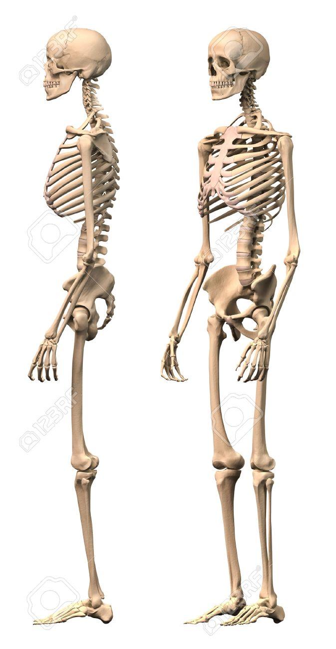 Männlich Menschliches Skelett, Zwei Ansichten, Seiten-und ...