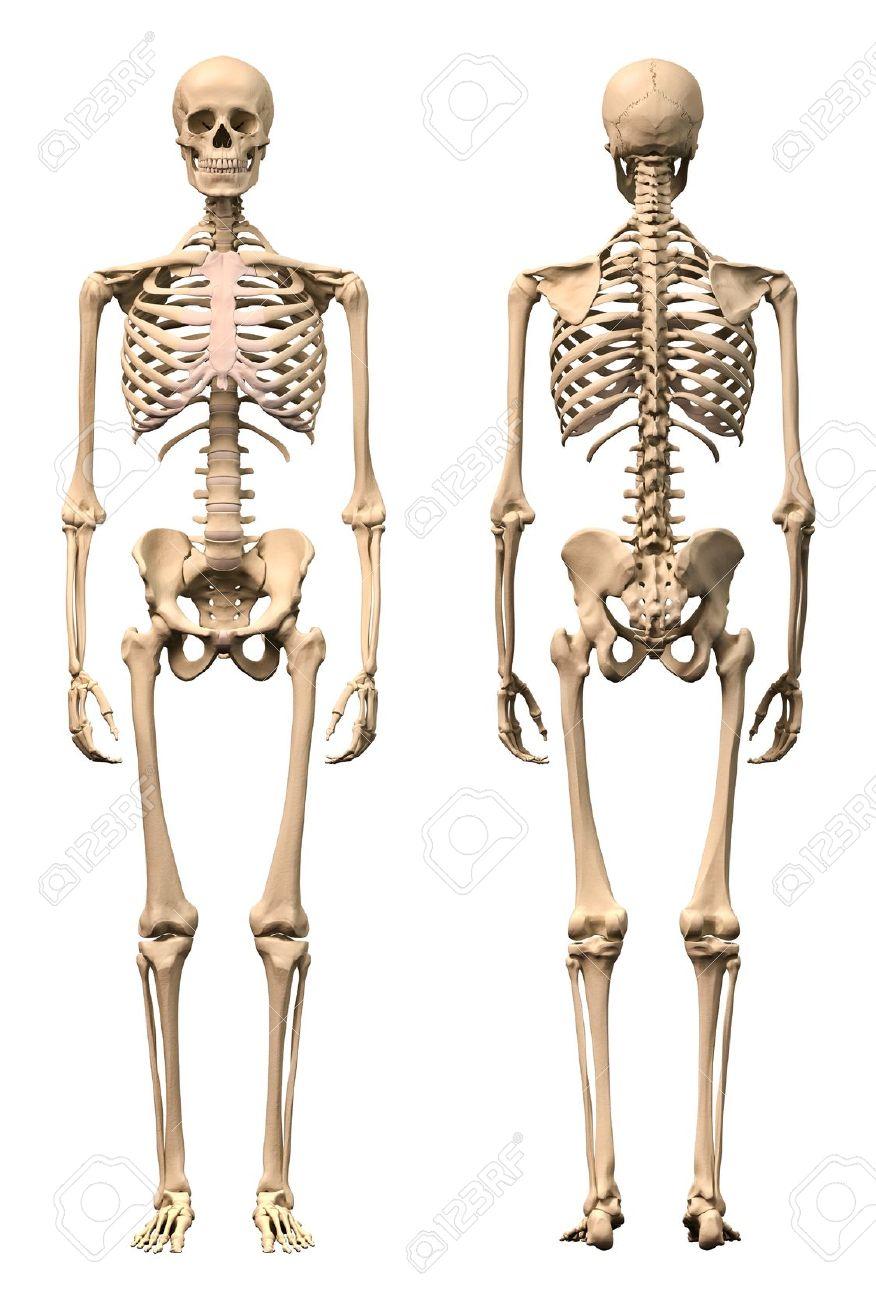 Männlich Menschliches Skelett, Zwei Ansichten, Vorne Und Hinten ...