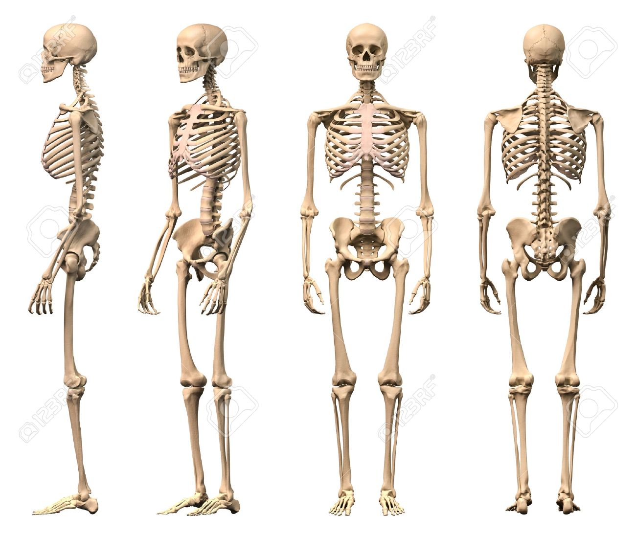 Male Human skeleton, four views, front, back, side and perspective. Scientifically correct, photorealistic 3-D rendering. - 11713071