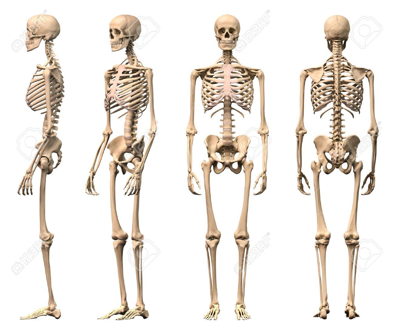 Männlich Menschliches Skelett, Vier Ansichten, Vorne, Hinten ...