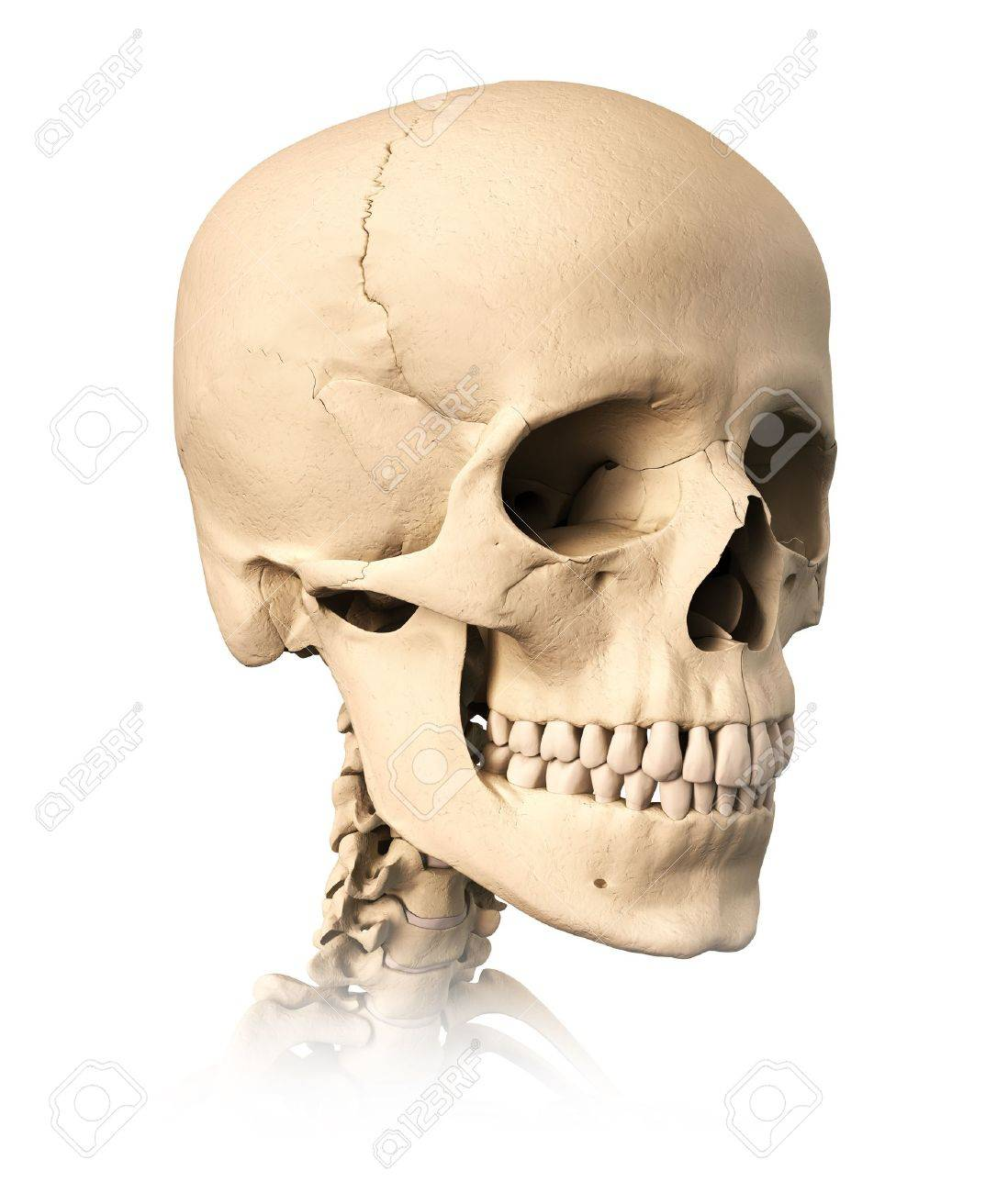 Very Detailed And Scientifically Correct Human Skull, On White ...