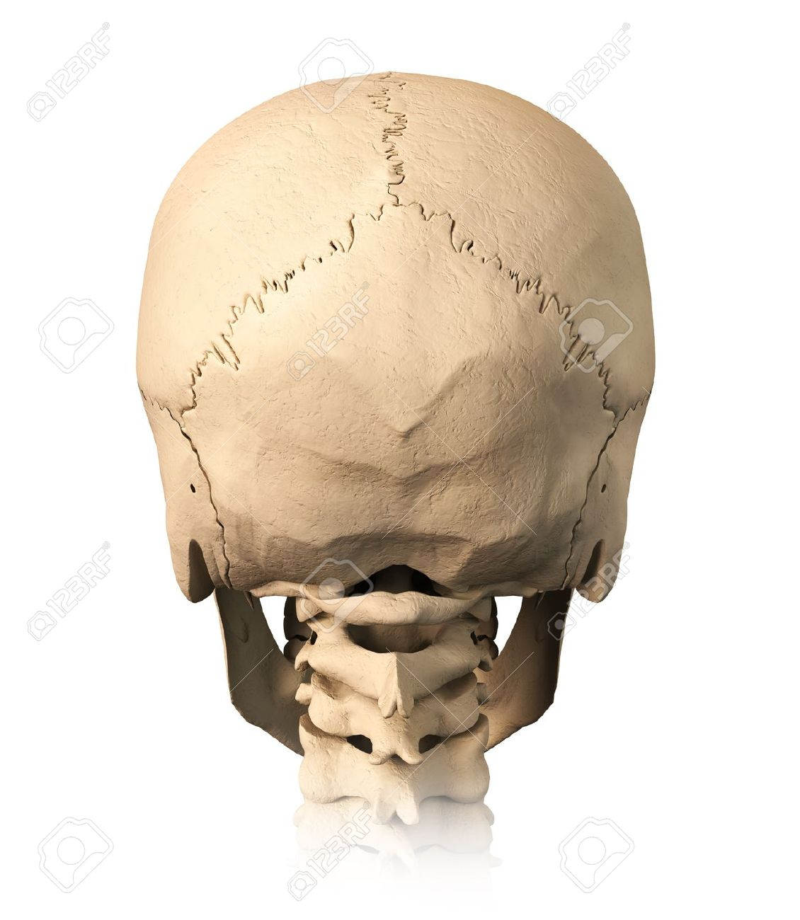 Very Detailed And Scientifically Correct Human Skull Back View