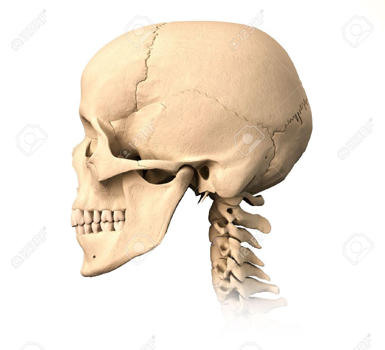 Muy Detallado Y Cráneo Humano Científicamente Correcto. Vista ...