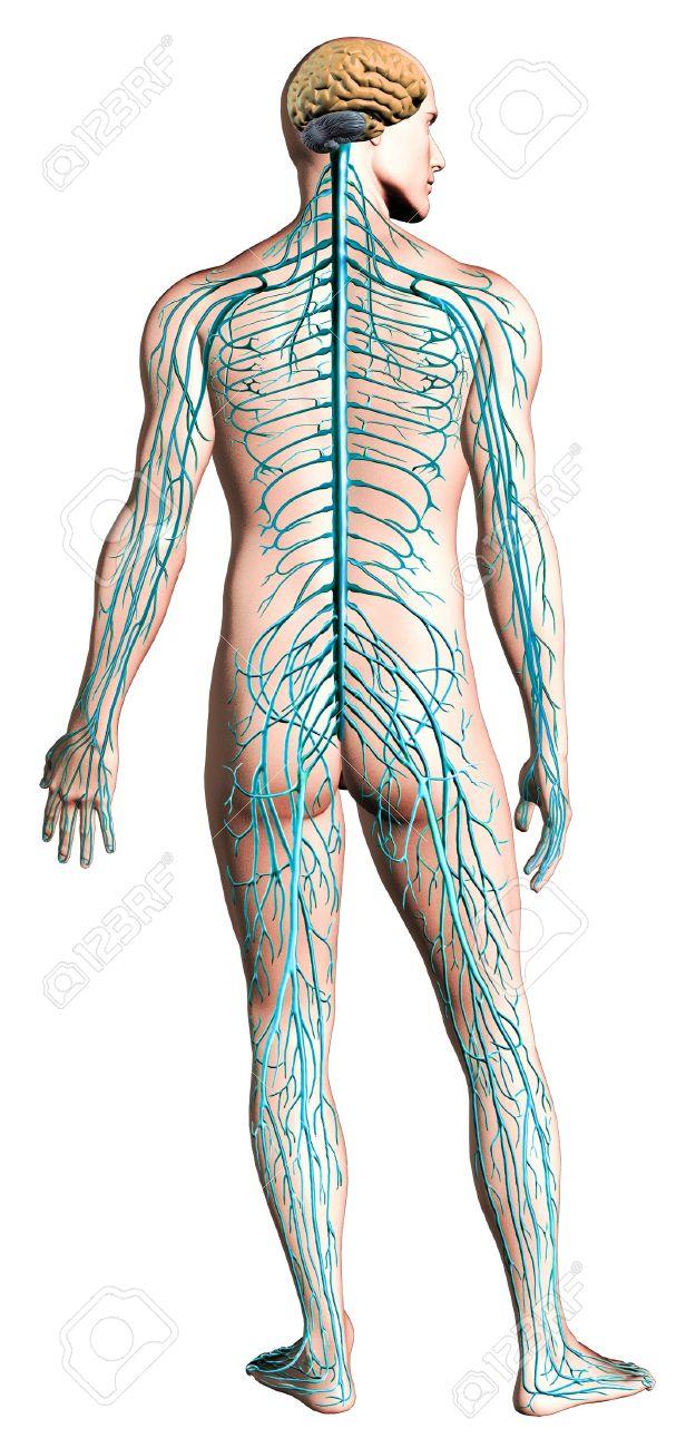 Diagrama Del Sistema Nervioso Humano. Anatomía De La Sección ...