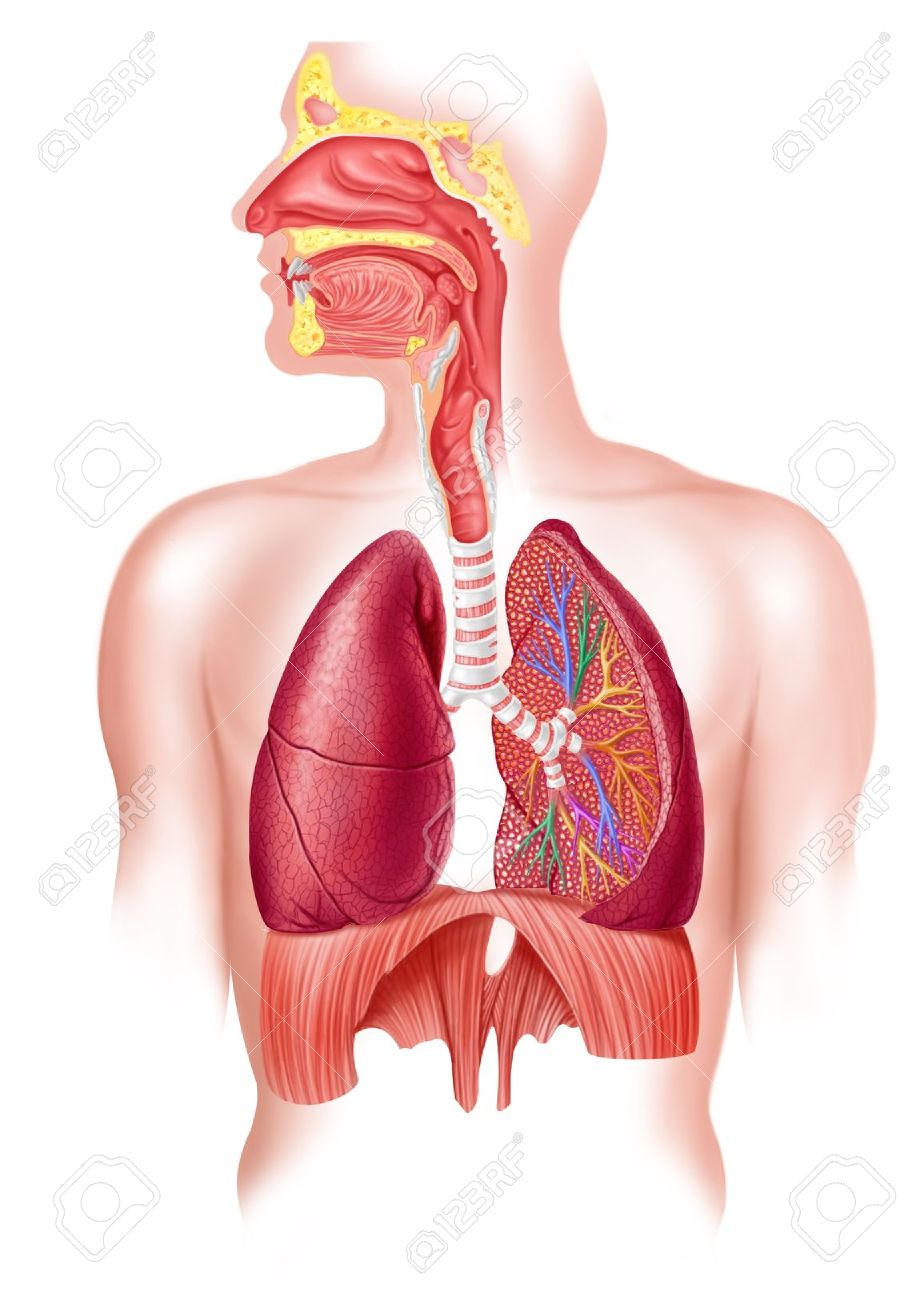 Human full respiratory system cross section - 11713021