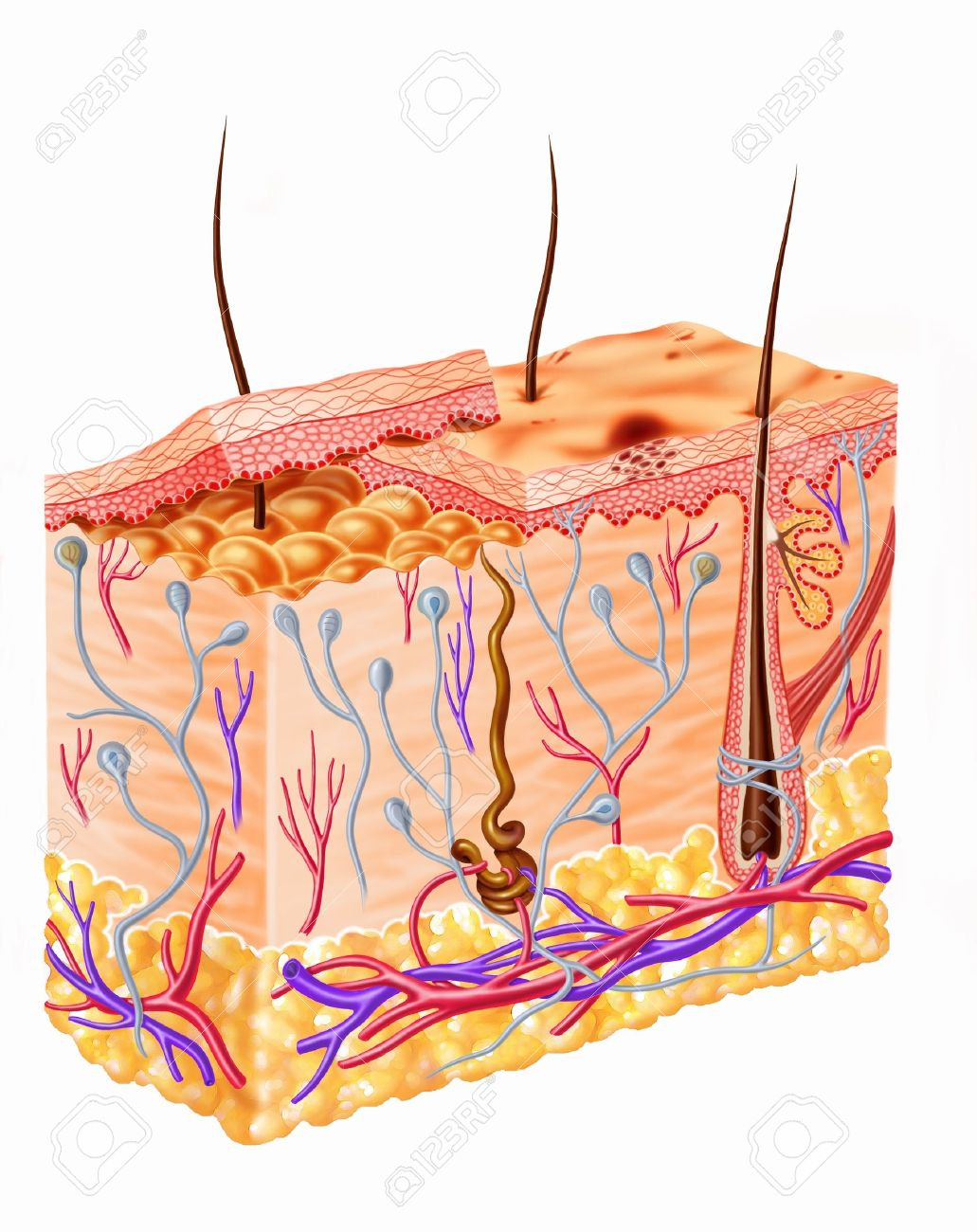 Human skin section diagram stock photo picture and royalty free human skin section diagram stock photo 11713034 pooptronica