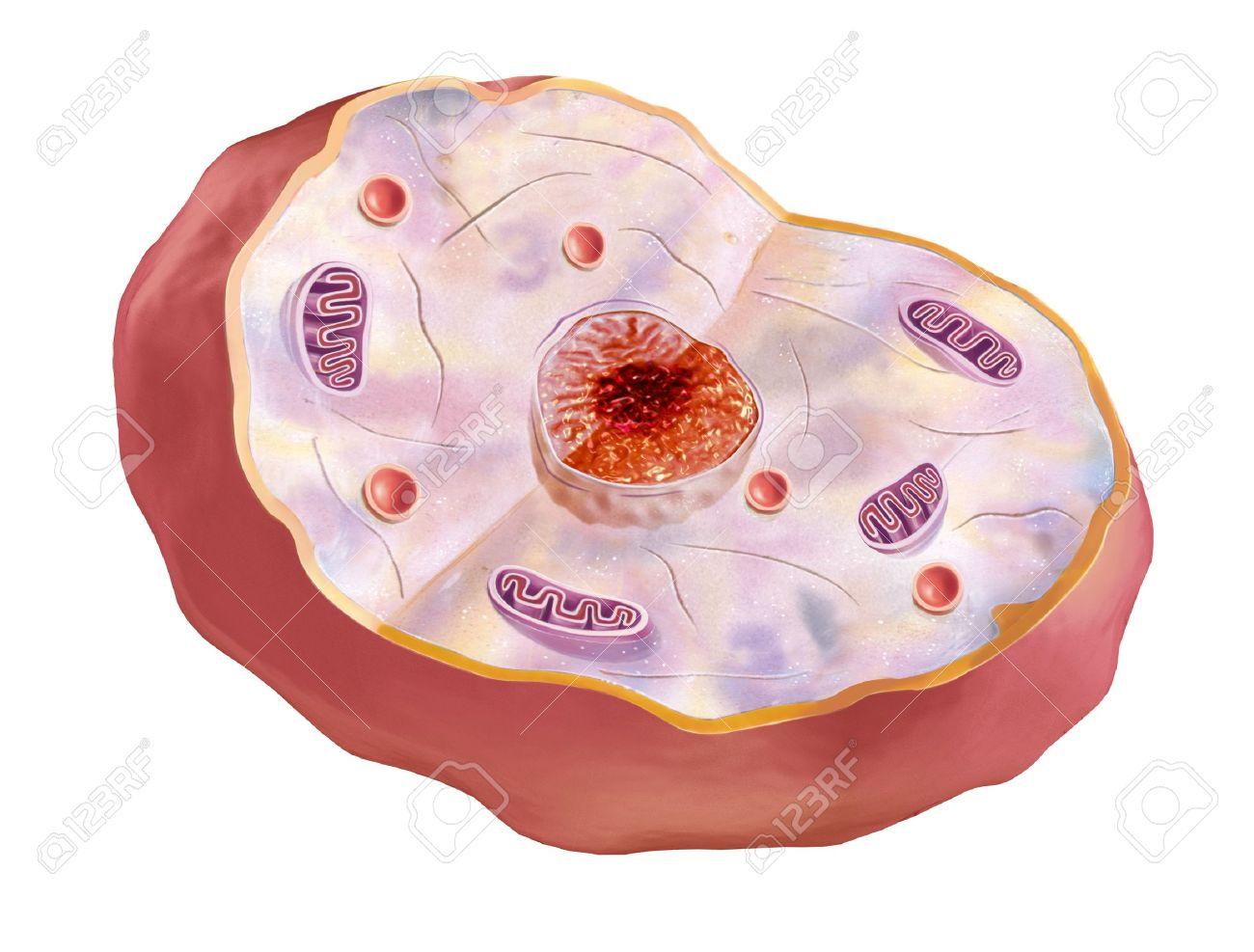 Human cell, anatomy image. 2 D illustration, on white background. Stock Illustration - 11779684