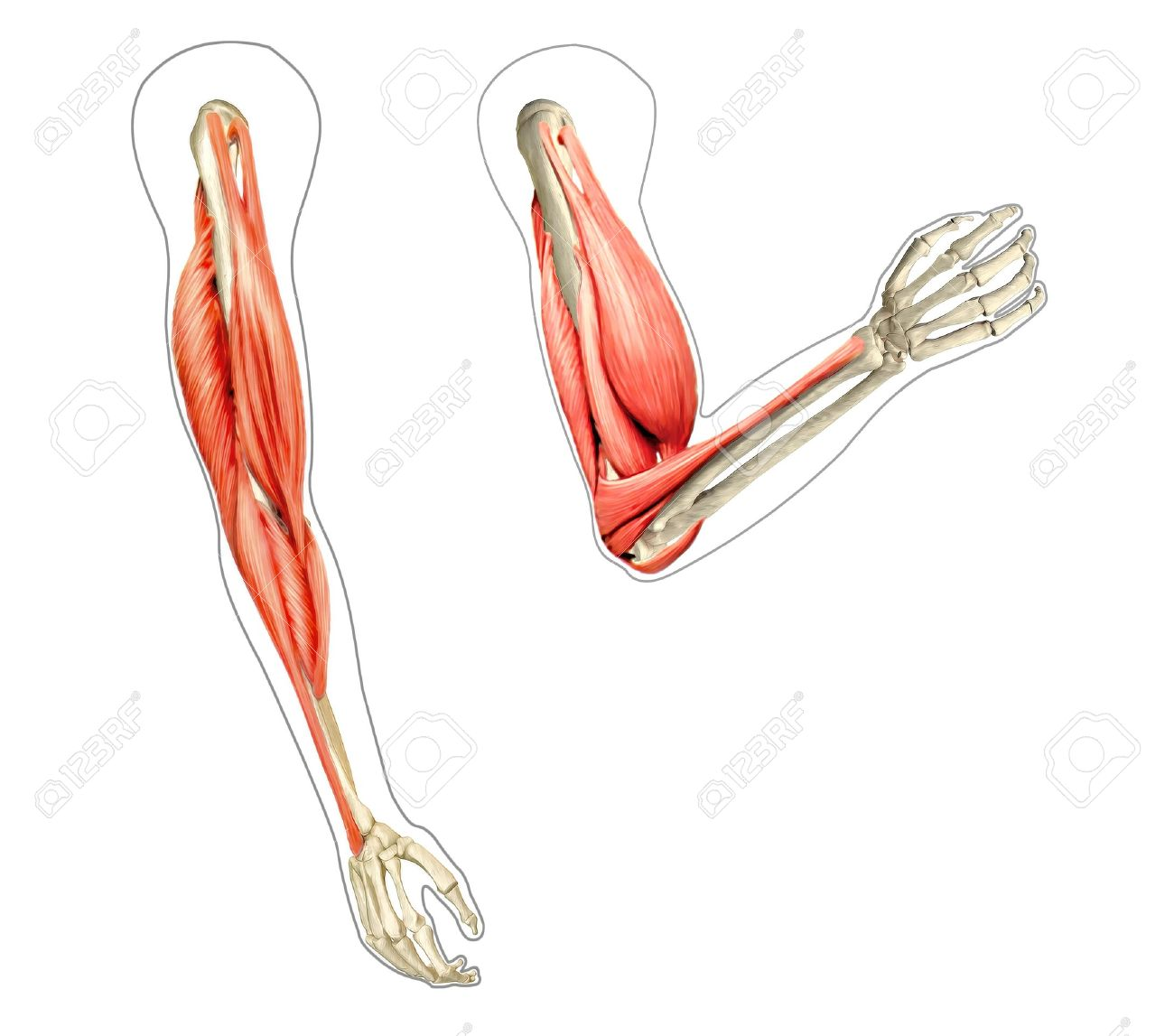 Human Arms Anatomy Diagram, Showing Bones And Muscles While Flexing ...