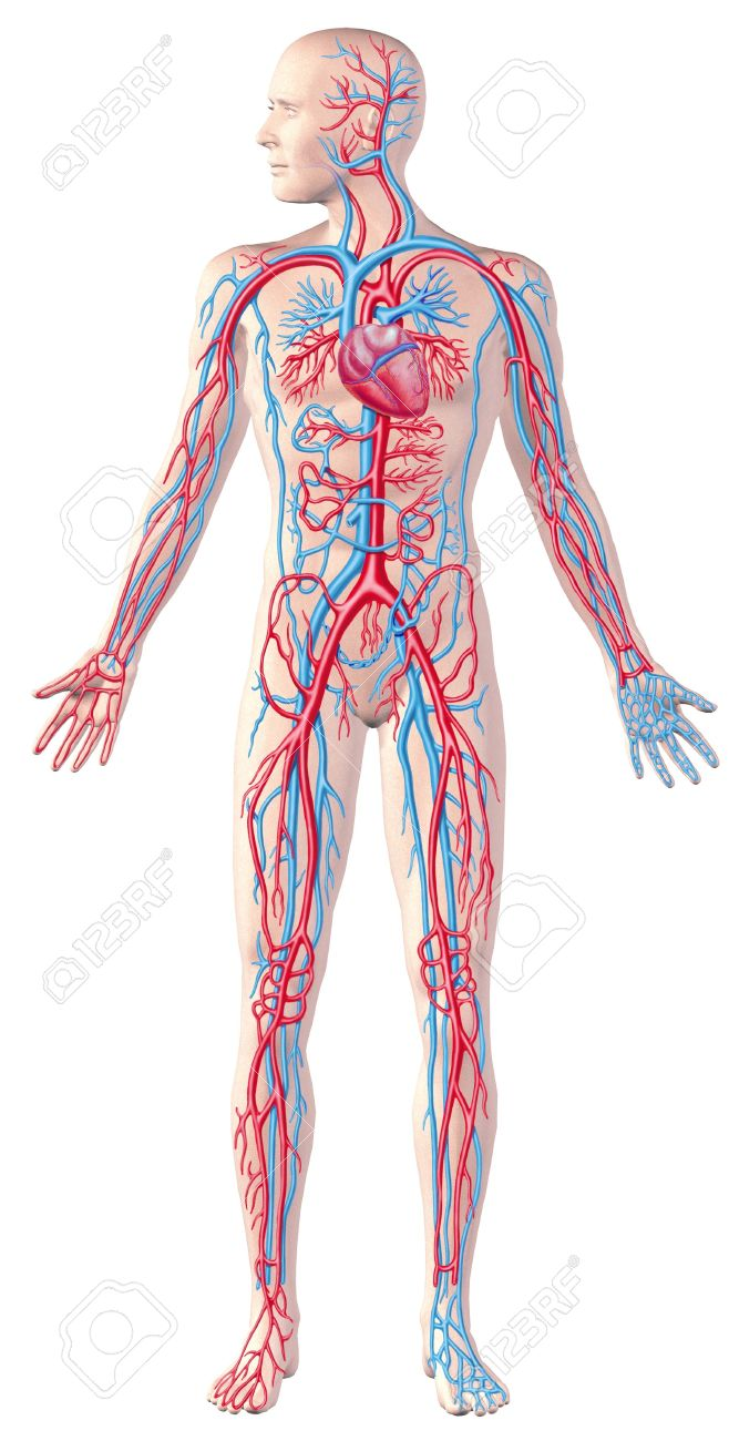 Human Circulatory System Full Figure Cutaway Anatomy Illustration