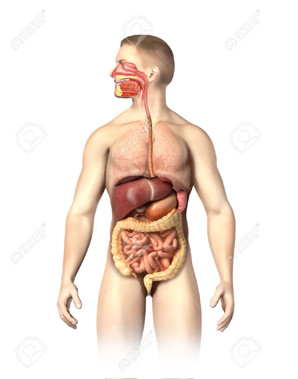 Man Anatomy Digestive System Cutaway, Including Mouth The Other ...