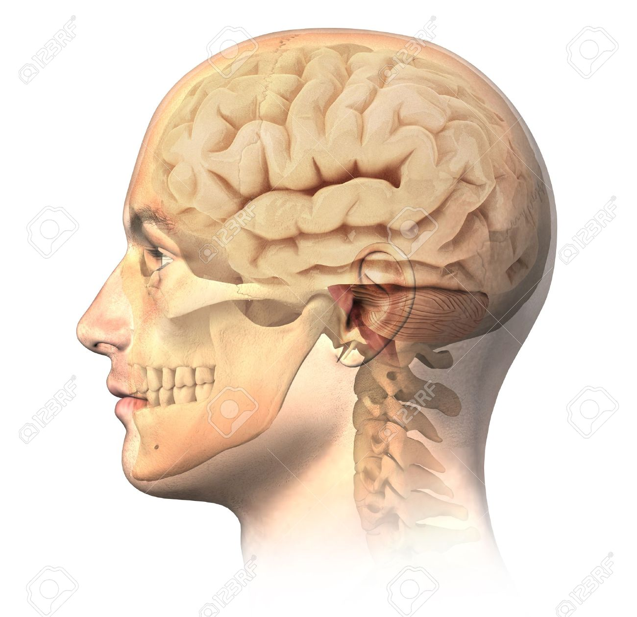 Male Human Head With Skull And Brain In Ghost Effect, Side View ...