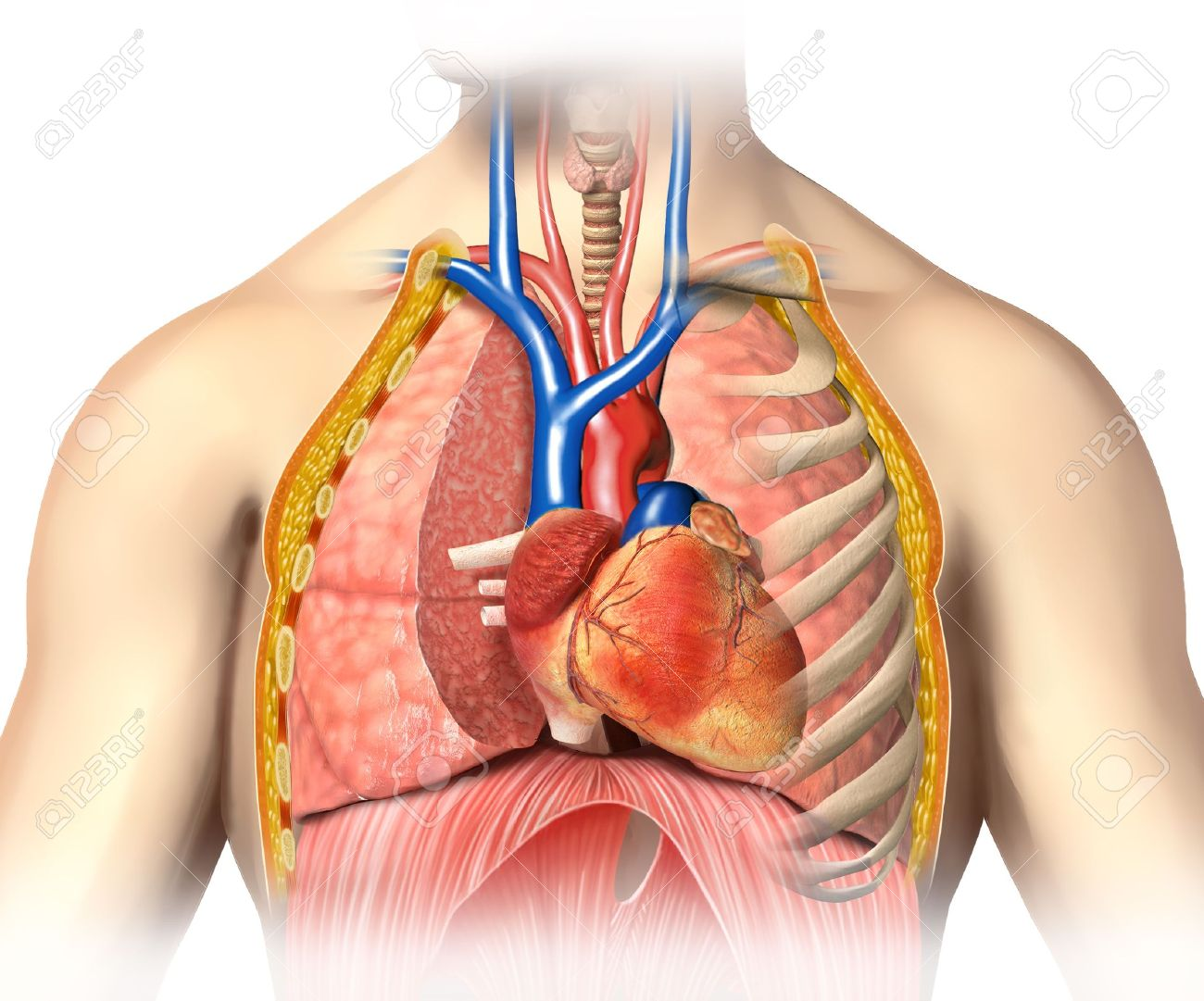 Man Anatomy Thorax Cutaway With Heart With Main Blood Veins,.. Stock ...