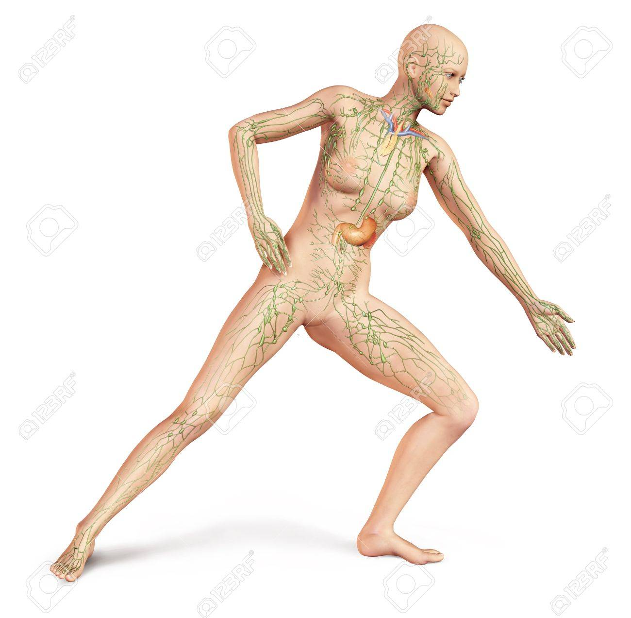 female naked body, in dynamic posture, with full lymphatic system