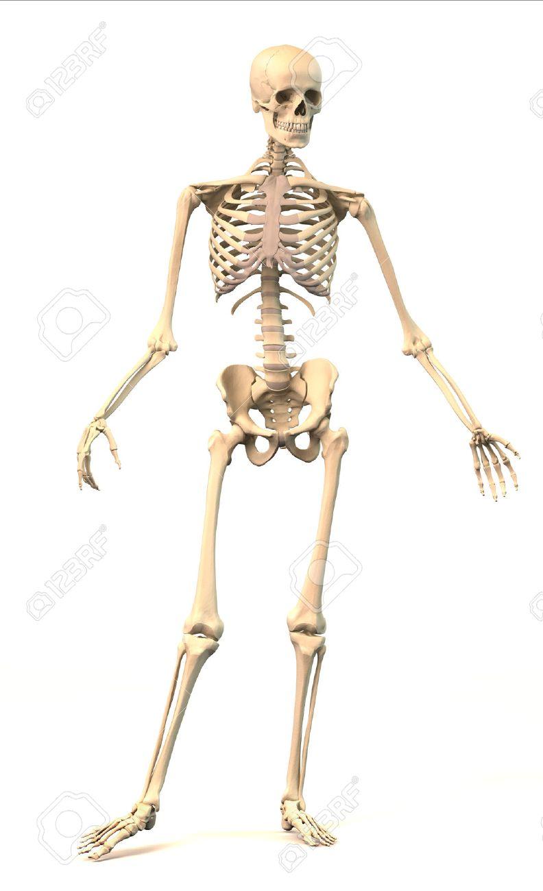 Esqueleto Humano Masculino, Muy Detallada Y Científicamente Correcto ...
