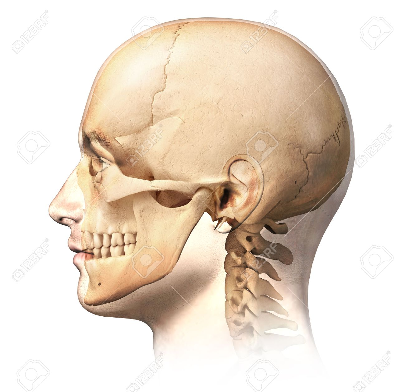 Male Human Head With Skull In Ghost Effect, Side View. Anatomy ...