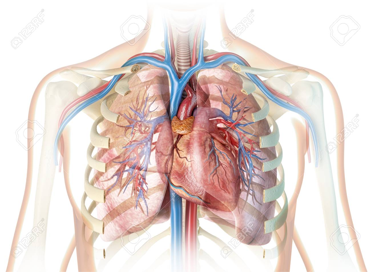 Human Heart With Vessels And Cut Rib Cage On White Background Stock Photo Picture And Royalty Free Image Image 120522071