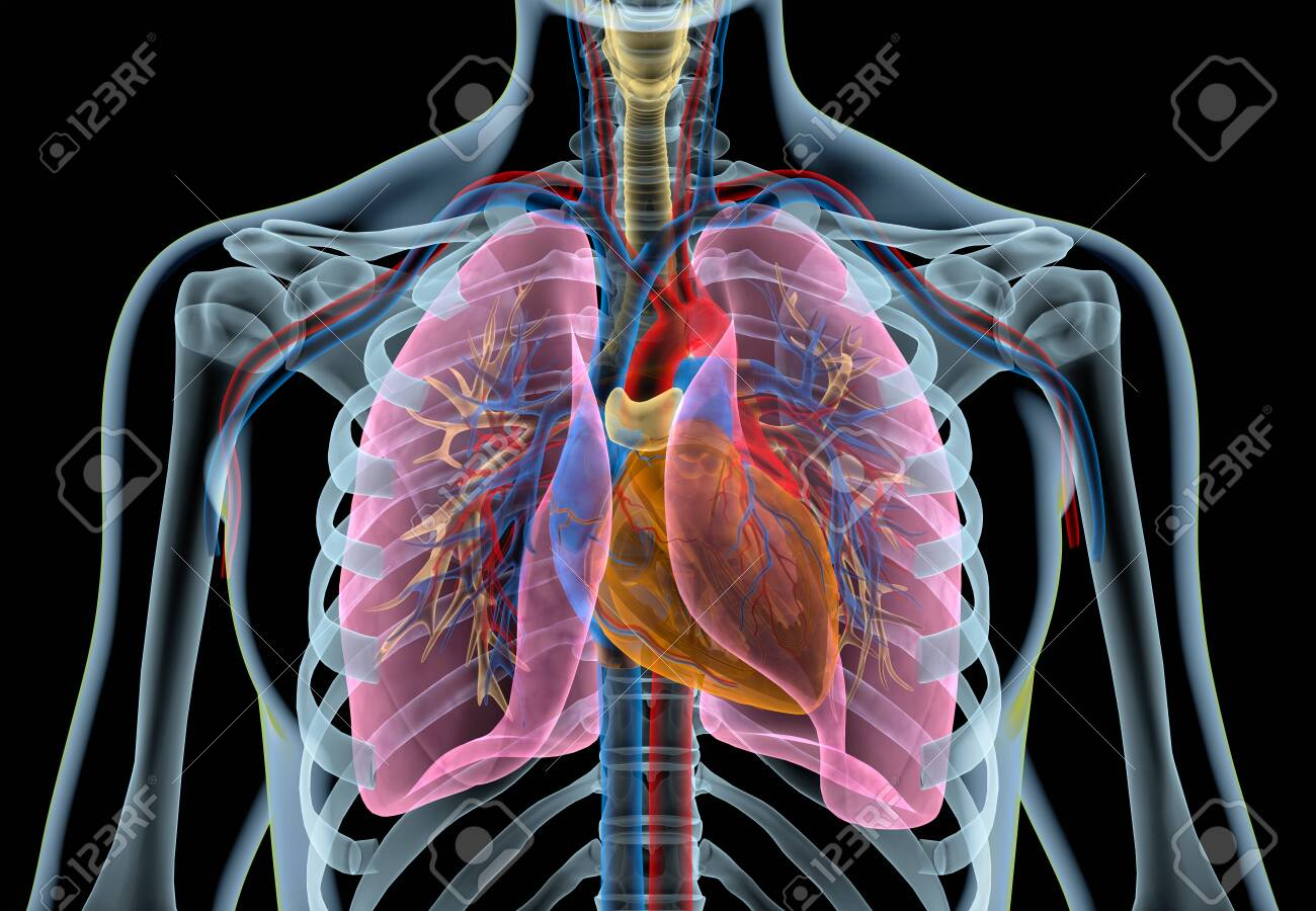 Human heart with vessels, lungs, bronchial tree and cut rib cage. X-ray effect on black background. - 120524887