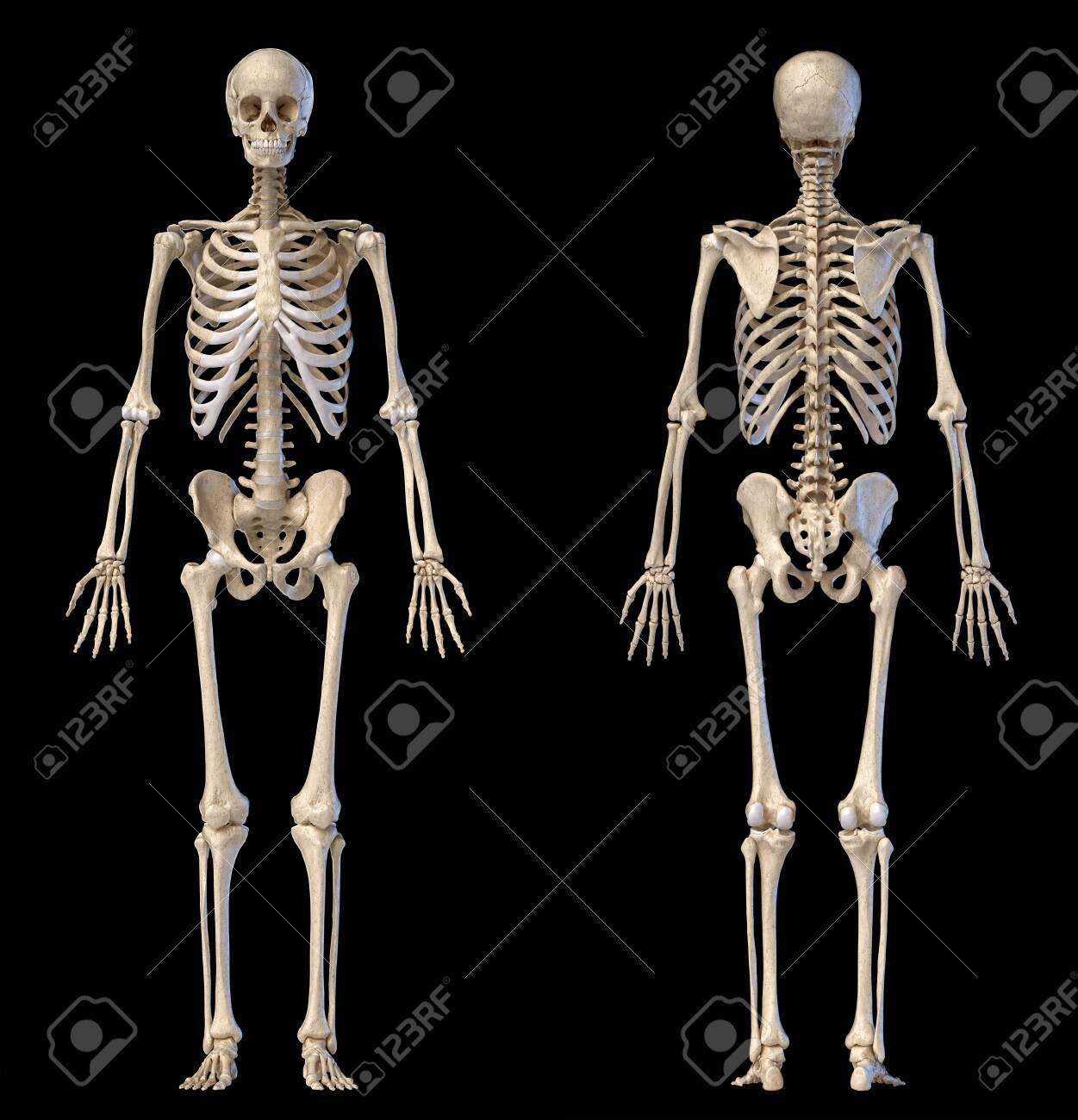 diagram of male skeleton human anatomy full body male skeleton front and rear views on  human anatomy full body male skeleton