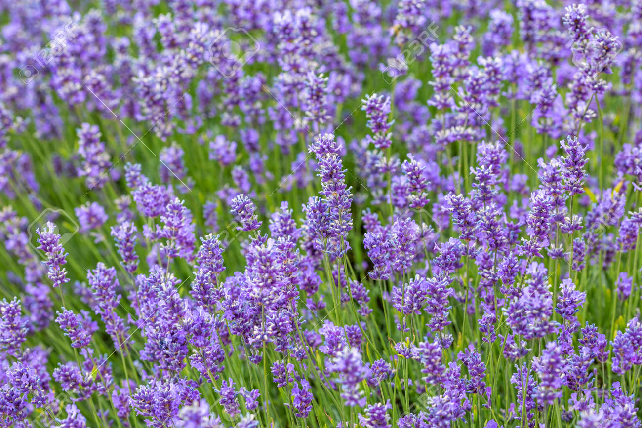 A full frame photograph of lavender flowers - 134217653
