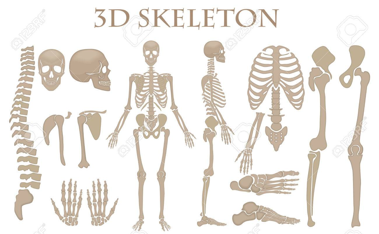 Los Huesos Humanos 3d Realista Esqueleto Vector Set Silueta De ...