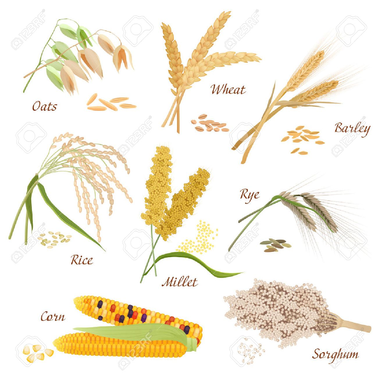 cereal plants vector icons illustrations oats wheat barley rye