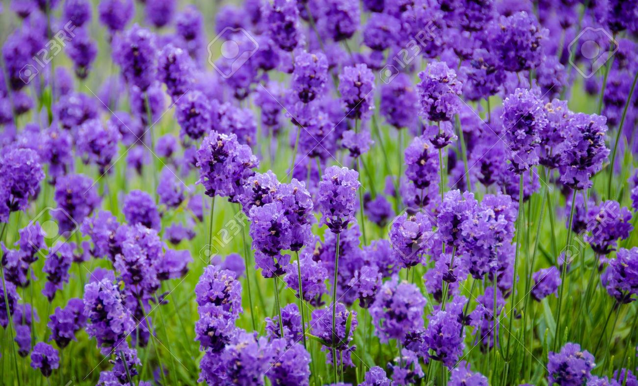 close up of purple lavender flowers onan organic farm stock photo, Beautiful flower