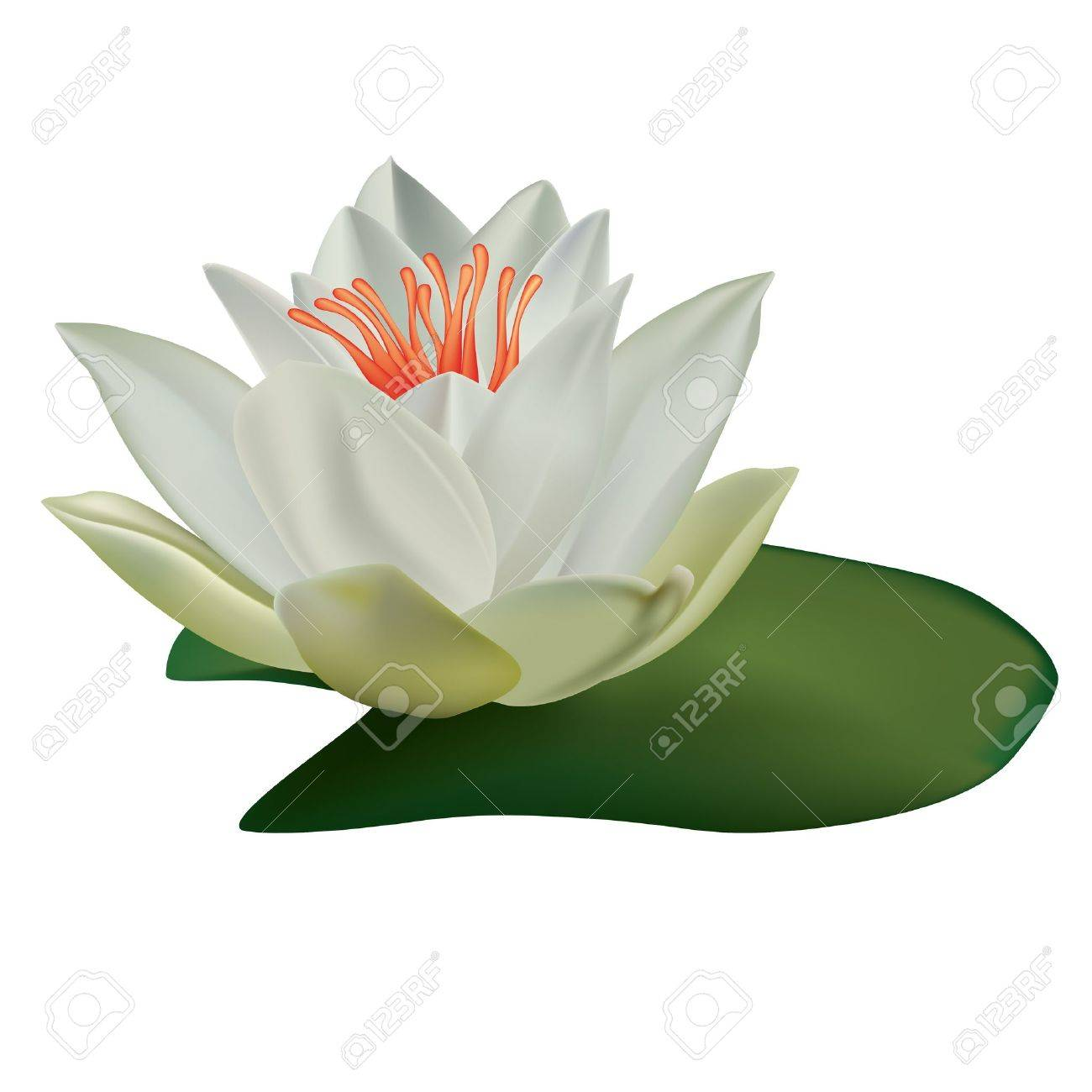 Water lily stock photos royalty free water lily images white lotus isolated on a white background illustration izmirmasajfo