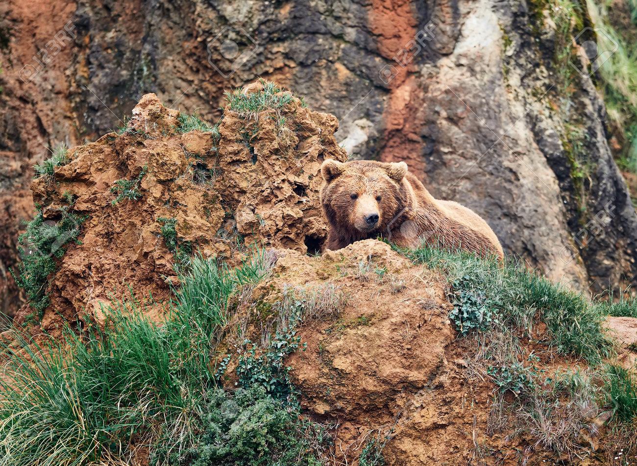 brown bear in the mountain - 161981190