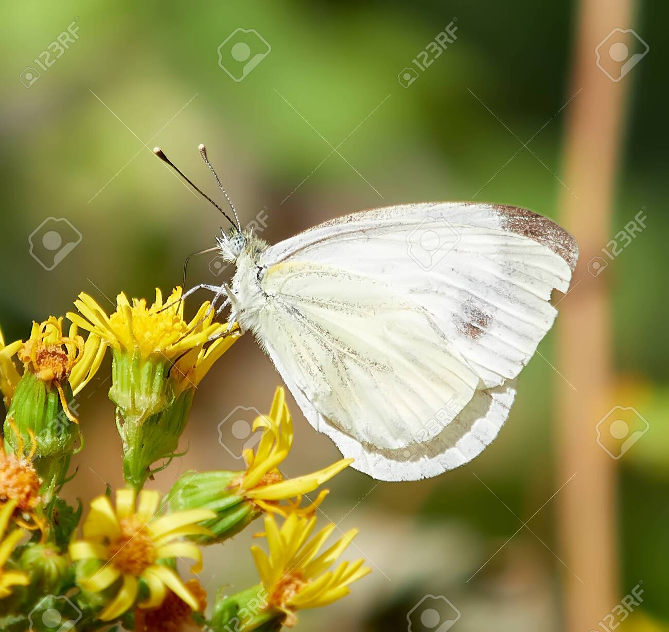 white butterfly, with brown spots on the wings, perched on yellow flowers, with a green blur background - 153389426