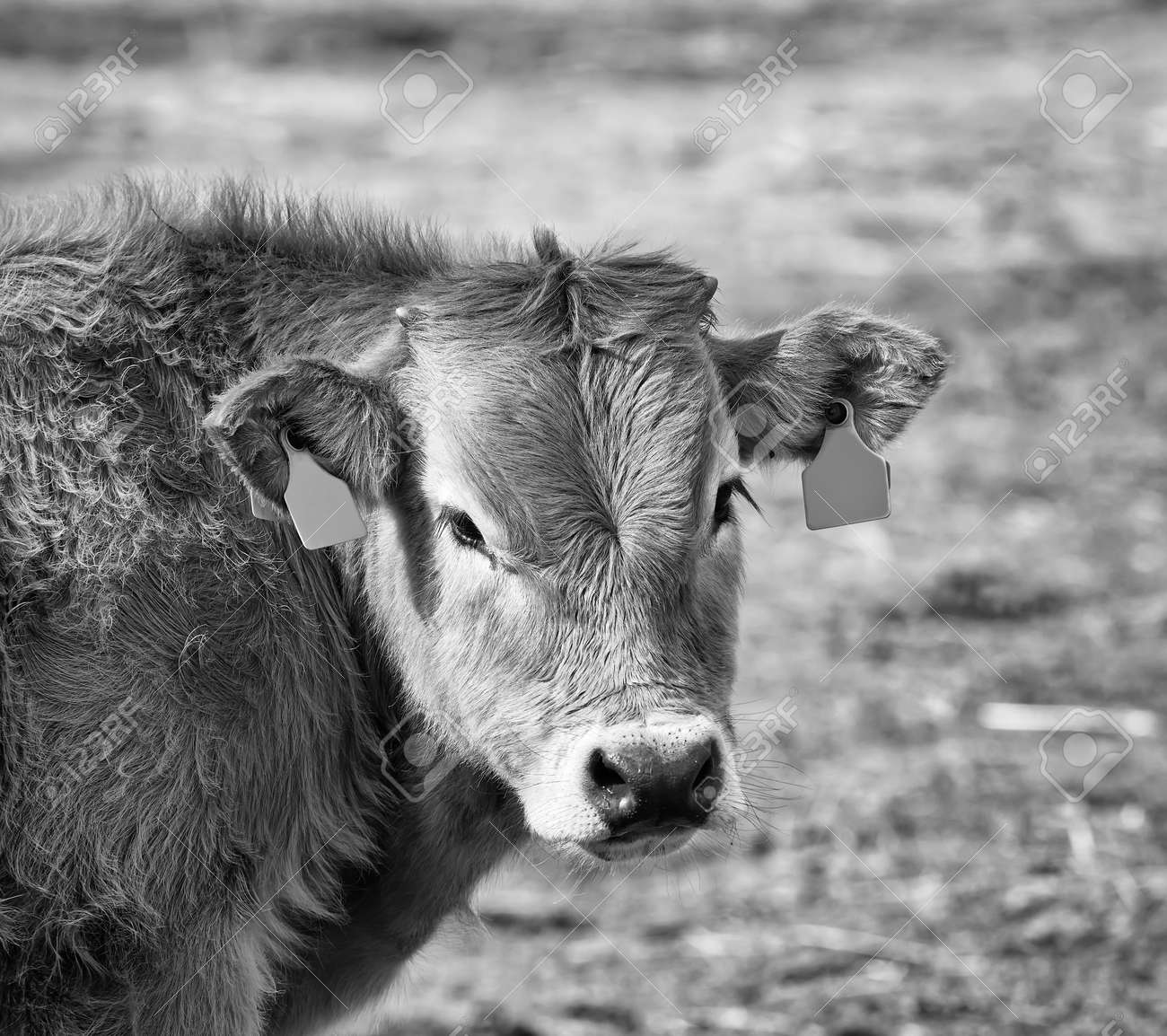 closeup of the head of a Spanish brown calf in the field in a meadow - 157292130