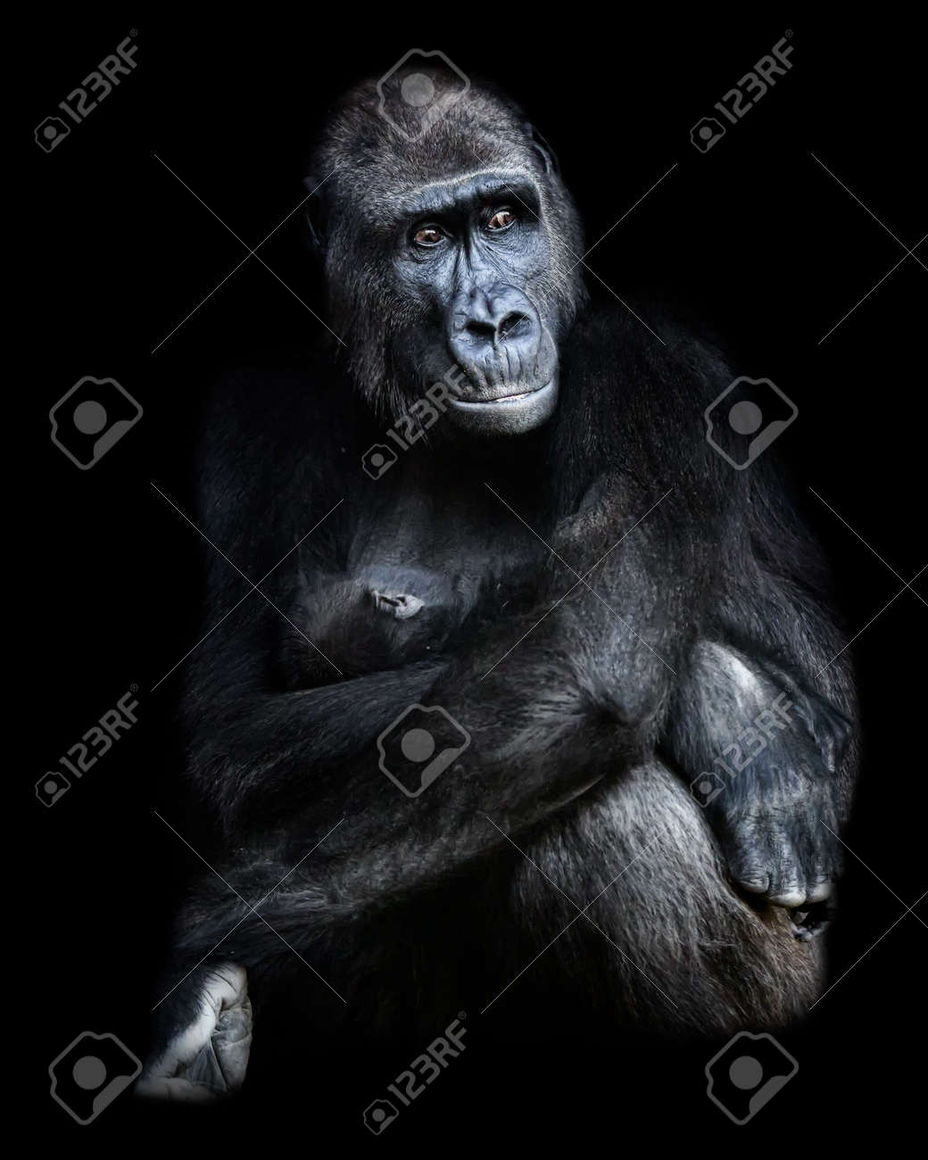 Female gorilla sitting with baby gorilla in her arms.Photograph with black background in low key - 159874323