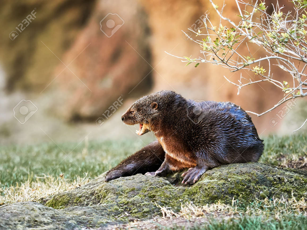 spotted necked otter, typical African aquatic animal, surrounded by trees and grass - 162882550