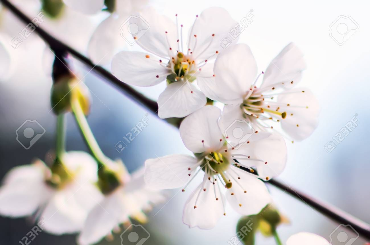 White Cherry Flowers Or Prunus Cerasus Flowers Cherry Tree