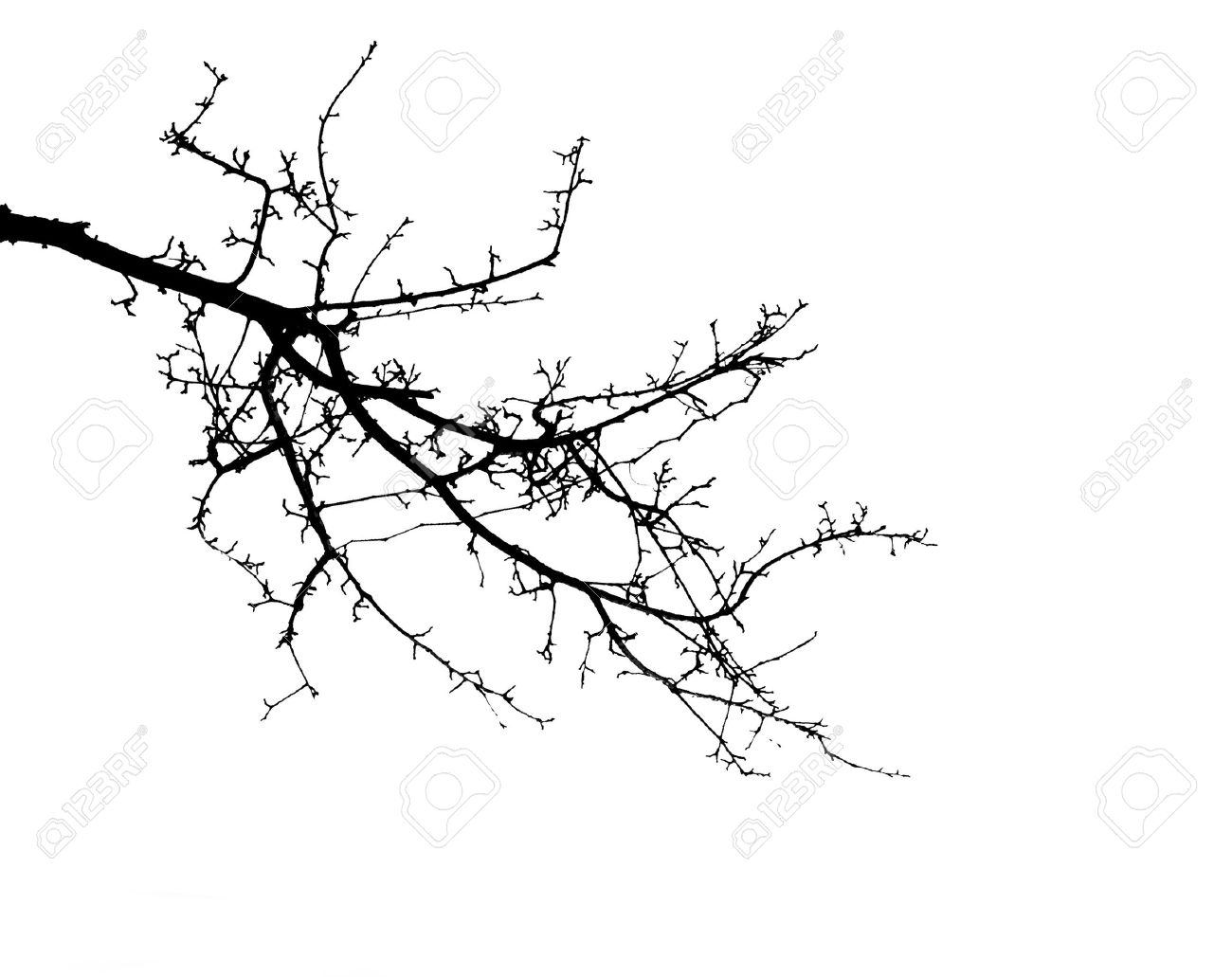 tree branches isolated on the white background Stock Photo - 10041408