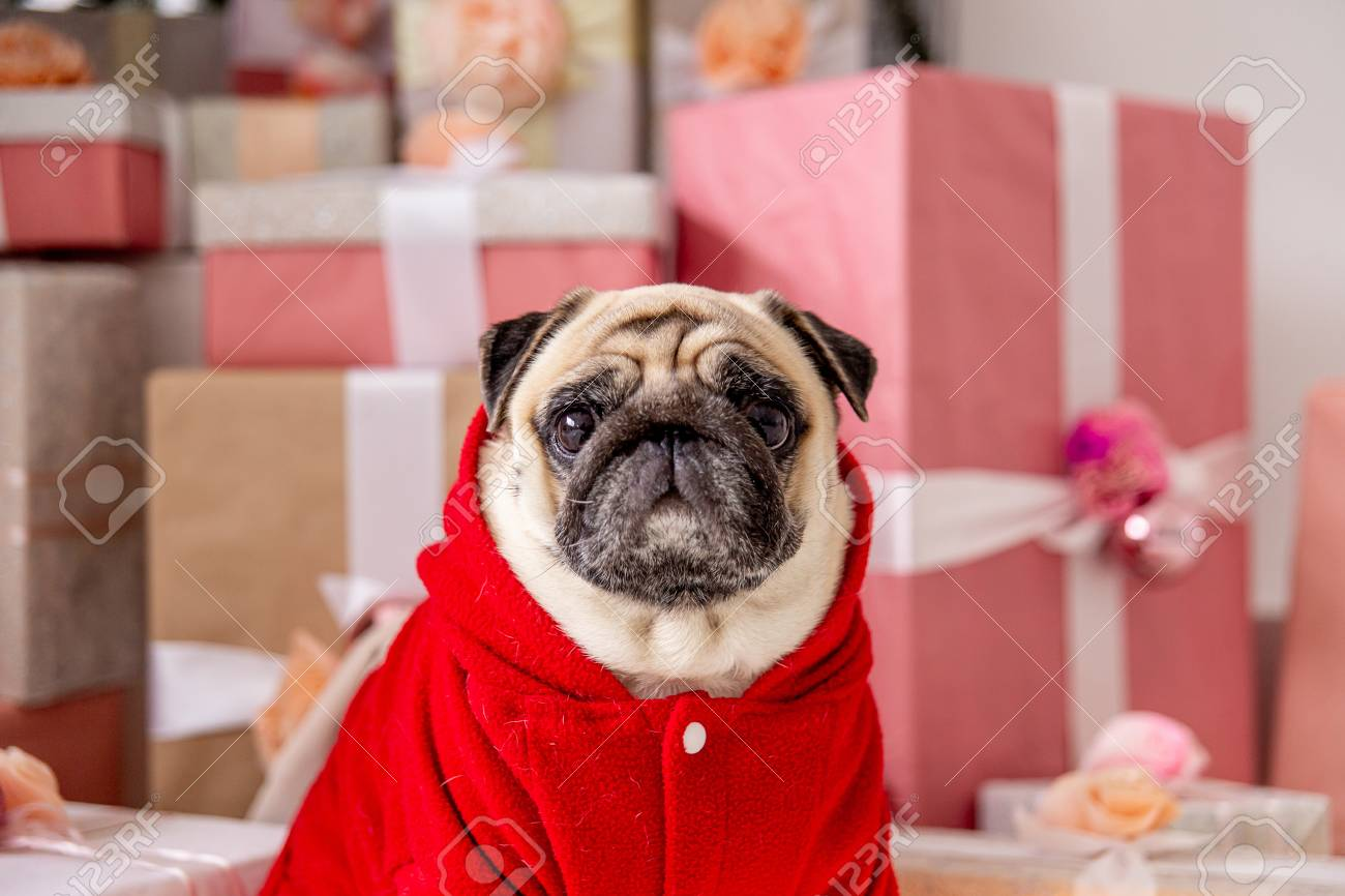 Pug In Santa Costume Sitting Under Christmas Tree With Gifts Stock