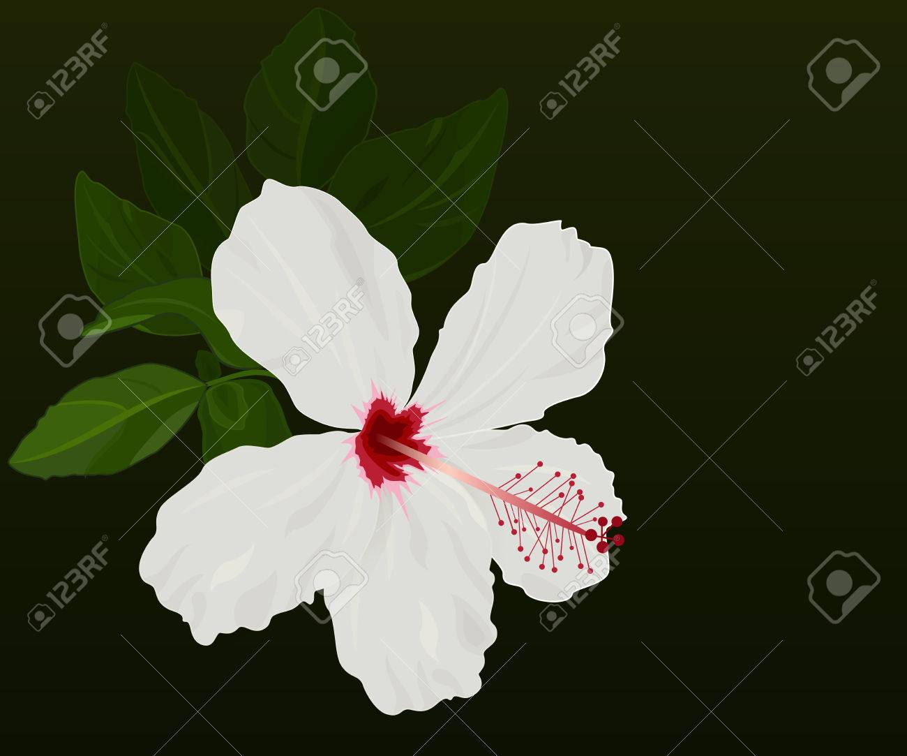 White hibiscus flower vector background with black copy space vector white hibiscus flower vector background with black copy space izmirmasajfo