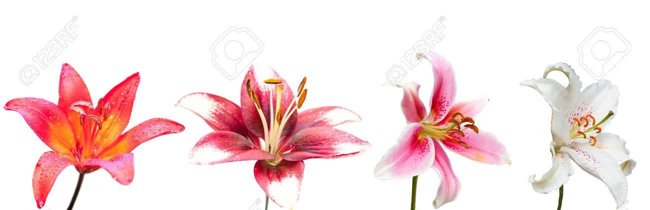 Weiß, Lila Und Rosa Lilie Blume, Set Der Vier Isolierten Bilder ...