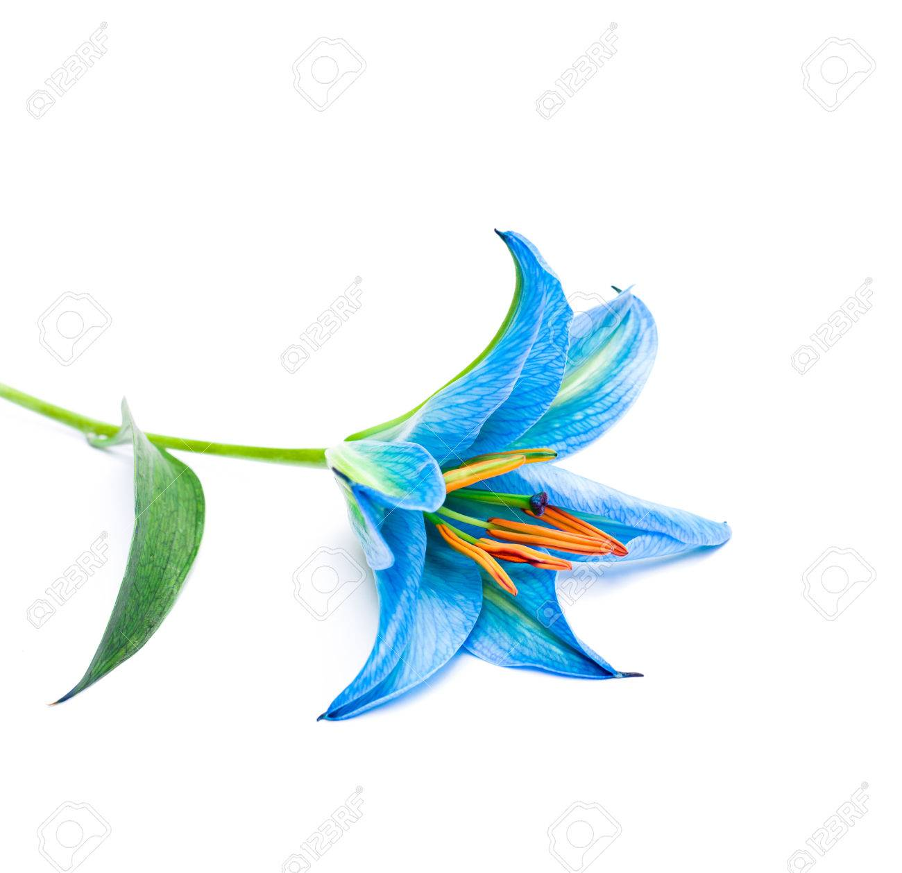 Blue lily flower on white background isolated stock photo picture blue lily flower on white background isolated stock photo 61973631 izmirmasajfo