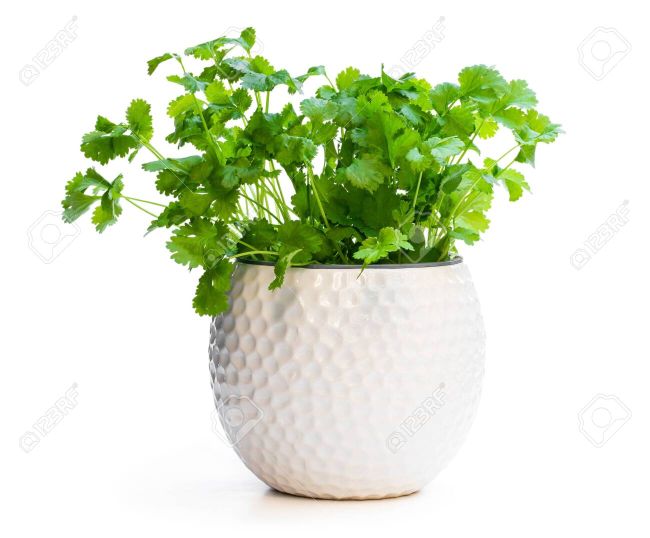 Coriander plant in a pot isolated on white - 120880285