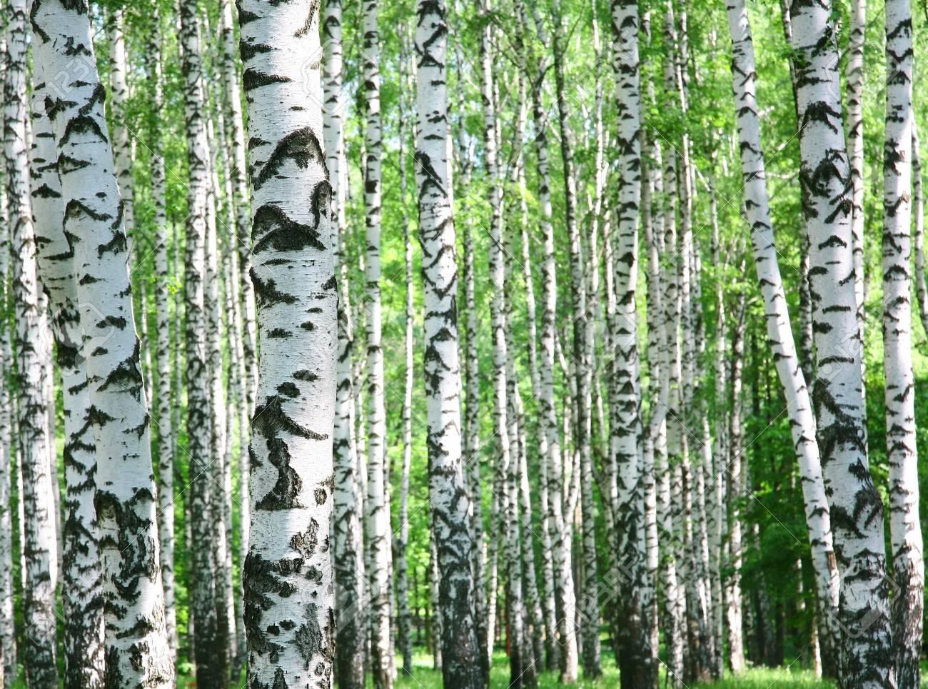 春の白樺の木の幹 ロイヤリティ...