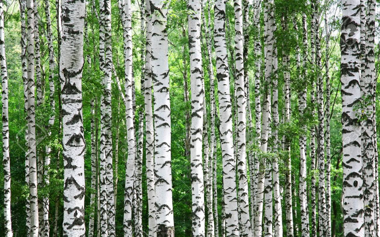 Trunks Of Birch Trees In Spring Stock Photo Picture And Royalty